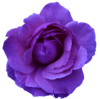 Flower Rose Wild Blue Purple Transparent Image